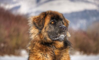 Leonberger, dog, curious animal
