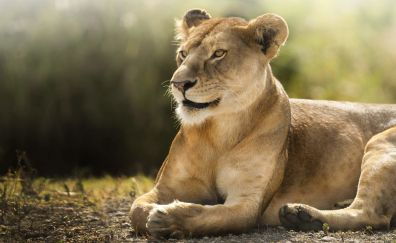 African lioness, animal, predator