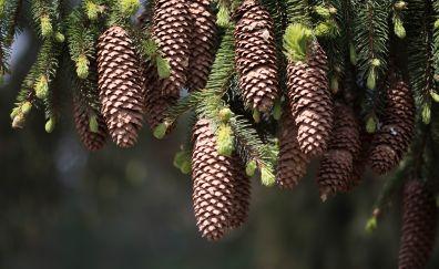 Cones fir pine