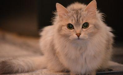 White, furry cat, pet animal
