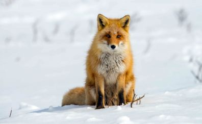 Winter, sitting, Red fox, wildlife