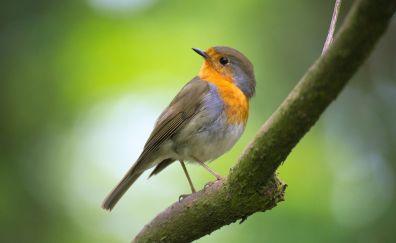 Robin, bird, sitting, tree branch