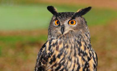 European eagle owl bird