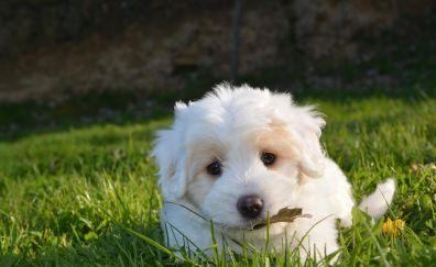 Petit Basset Griffon Vendéen, dog, puppy, eating grass, cute