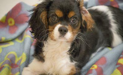 Cavalier king charles spaniel dog puppy, animal