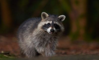 Raccoon, furry, cute animal