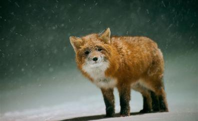 Cute, red fox, snow fall