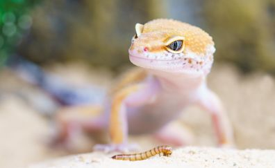 Gecko, lizard, reptile