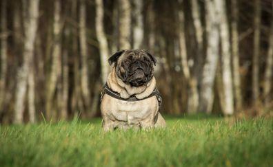Dog, pug, grass, outdoor, 5k