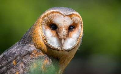 Barn owl, bird, muzzle, predator
