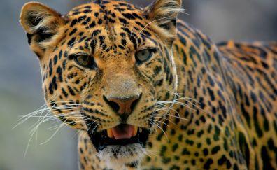 Leopard, muzzle, predator, animal