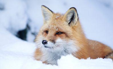 Red fox, muzzle, snow