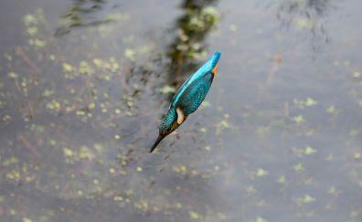 Kingfisher, colorful bird, bird, jump