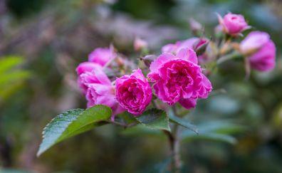 Blur, pink roses, plants, garden, 5k