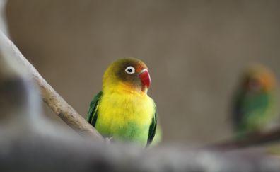 Cute, small bird, parrot, 4k