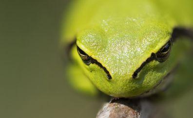 Green tree frog, amphibian, muzzle