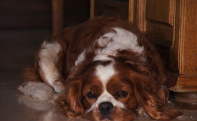 Cavalier king charles spaniel, cute, dog, relaxed