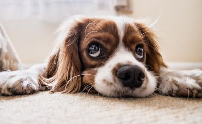 Cavalier king charles spaniel, calm and relaxed, dog, muzzle