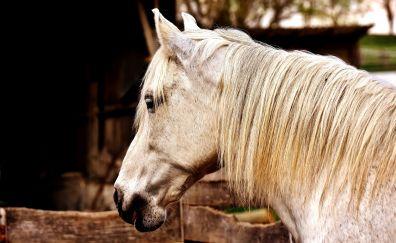 Horse, white horse, animal, muzzle