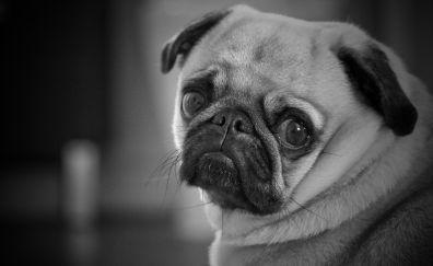 Cute, adorable, pug, animal, muzzle, monochrome
