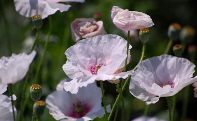 Meadow, pink poppy, flowers, spring