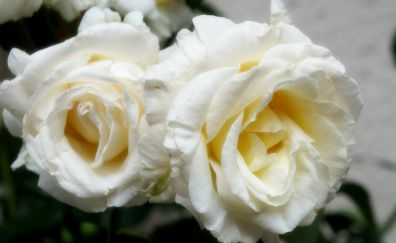 12 white rose wallpapers hd backgrounds 4k images pictures page 1 white rose flower mightylinksfo