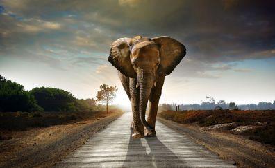 Elephant, walking on the road, animal, 8k