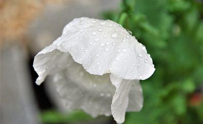 Close up, white poppy, drops