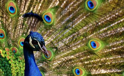 Peacock, dance, colorful birds, feathers