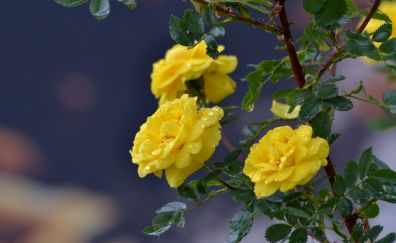 Flowers roses branch drops yellow roses