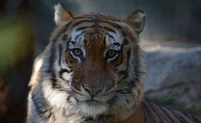 Tiger, calm, animal, muzzle, 4k