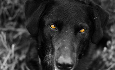 Black Labrador dog, muzzle, yellow eyes