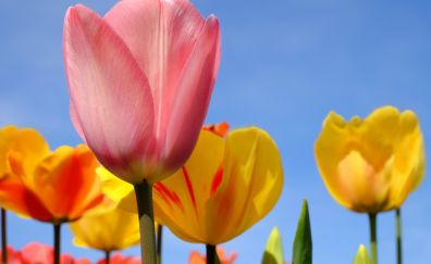 Tulip flowers, blossom, pink, yellow