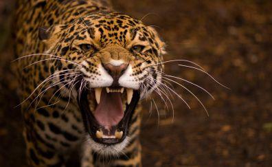 Jaguar a Wild & Big Cat