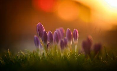 Pink crocus, flowers, buds, morning