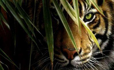 Tiger, predator, muzzle, behind grass