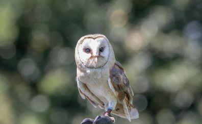 Barn owl, predator, bokeh