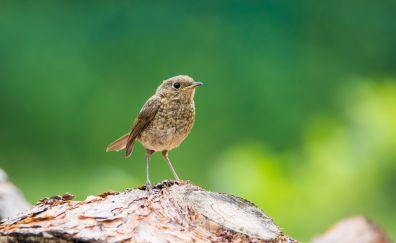 Young robin, bird, cute