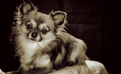 Chihuahua, small pet dog, sepia