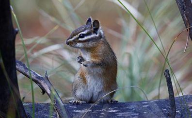 Chipmunk, small, cute animal