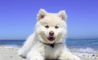 Finnish Lapphund dog puppy wallpaper