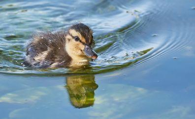 Baby goose, swim, bird