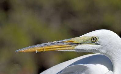 Heron, white birds, beak