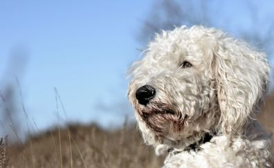 Goldendoodle, dog, white pet animal