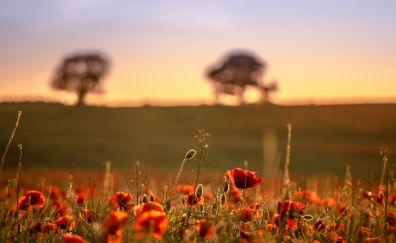 Blur, nature, poppy plants, sunrise