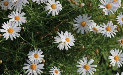 Daisy, white flowers, park, plants