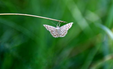 Butterfly, moth, hang, close up