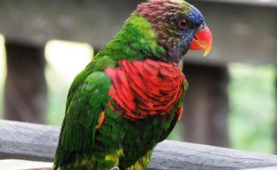 Parrot bird, Rainbow Lorikeet, bird, colorful