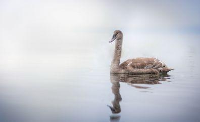 Brown, mute swan, swim, reflections