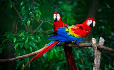 Pair, colorful birds, macaw